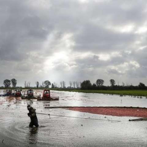 Los trabajadores arrasan en su cosecha de arándanos en una granja estatal en la aldea de Selishche, a unos 320 km (200 millas) al suroeste de Minsk.  / AP