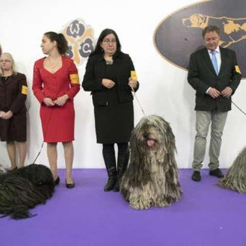 Perros de raza Bergamascos, riginaria de los Alpes italianos y sus manejadores esperan para competir durante la Exposición Canina Club Westminster Kennel, el lunes 13 de febrero de 2017, en Nueva York.  /  Foto:  AP