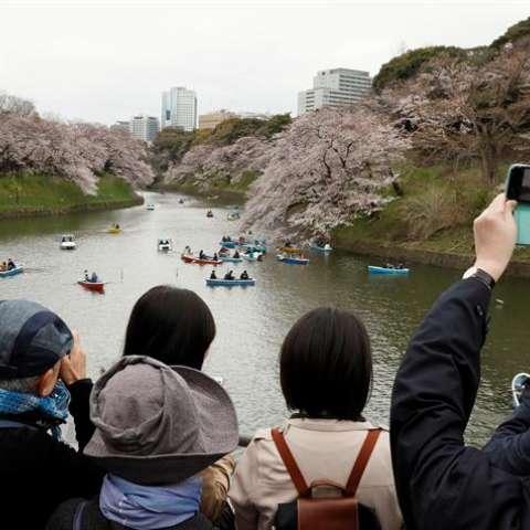 """Una semana después de la aparición de los primeros capullos en Tokio, miles de personas salieron a celebrar que el tiempo de """"sakura"""" ha alcanzado su plenitud en la ciudad, trayendo consigo una espectacular estampa de rosa y blanco. EFE"""