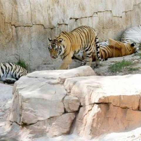 Los grandes felinos, como los tigres, están muriendo de inanición.  /  Foto: EFE Ilustrativa