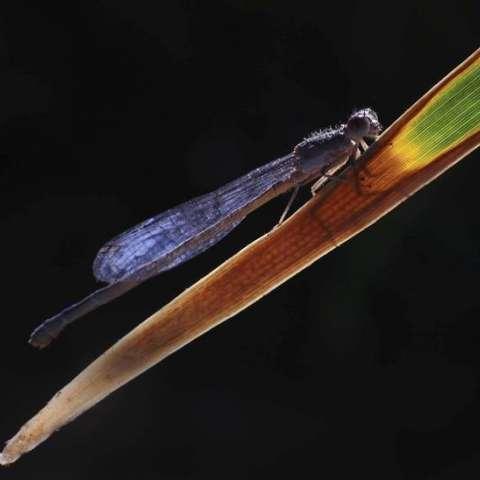 El investigador explicó que las libélulas son predadoras naturales de los mosquitos e importantes indicadores ambientales por lo que su hallazgo cerca a un riachuelo muestra que el agua está en una región preservada. /  Foto: EFE Archivo