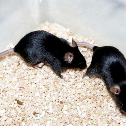 Los ratones tampoco pueden contar su propia percepción, por lo que los investigadores de la fundación portuguesa Champalimaud solo han podido analizar el comportamiento de los animales. EFE/Archivo