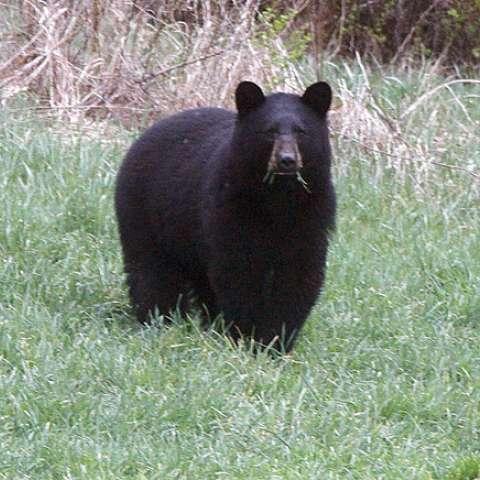 En esta foto de archivo del 22 de abril de 2012, un oso negro pasta en un campo en Calais, Virginia. /  Foto: AP