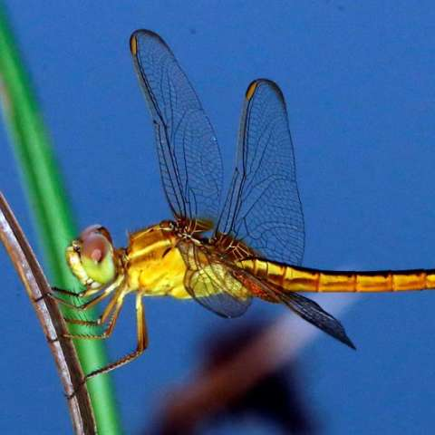 Una libélula asiática descansa en una brizna de hierba en el Parque de Estudio de Biodiversidad de Thalawathugoda en Colombo (Sri Lanka). EFE