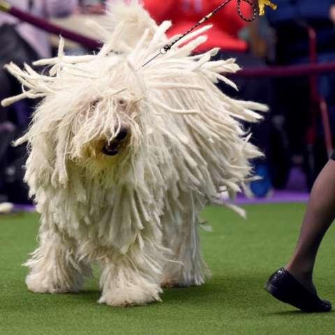 """Komondor """"BettyBoop"""" se exhibe ante los jueces en el segundo día de la Exposición Anual de perros en Nueva York. AFP"""