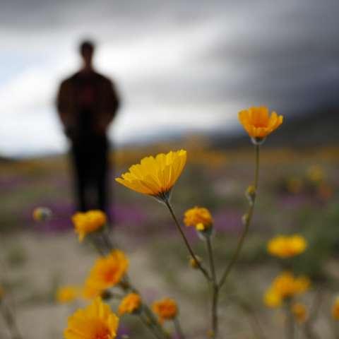 """Dos años después de que las lluvias constantes seguidas de temperaturas cálidas hicieron que las semillas latentes durante décadas bajo el suelo del desierto se abrieran de golpe y produjeran una espectacular exhibición denominada """"super floración"""". AP"""