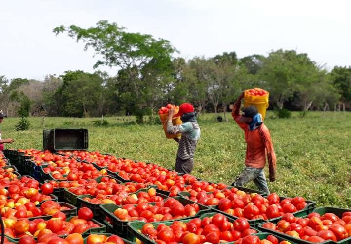 Tomateros de Los Santos están preocupados por la falta de agua
