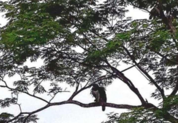 Investigan avistamiento de Aguila Harpía en Quebrada de Piedra