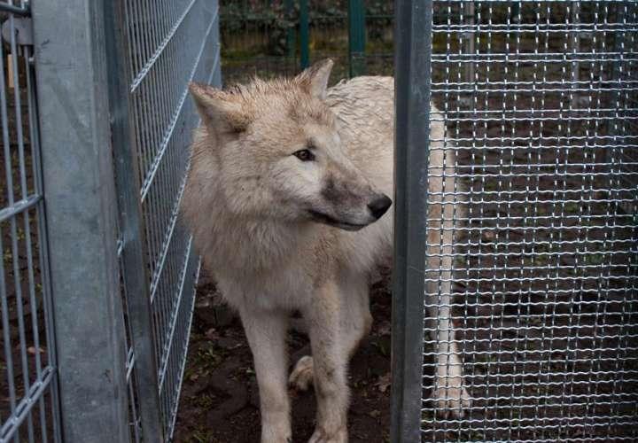 Los perros, al igual que los lobos, cooperan para obtener recompensas