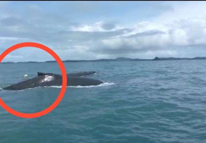 Desesperación, avistan ballena atrapada en red en golfo de Chiriquí