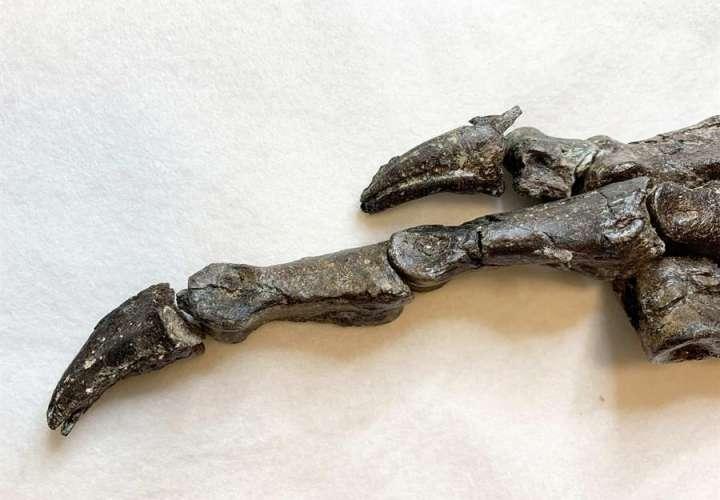 Descubren en Brasil un fósil de una especie de dinosaurio desconocida