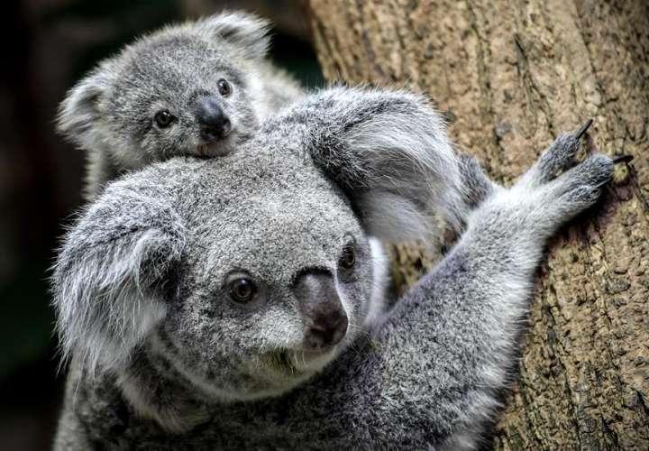 La clamidia de los koalas, una clave para tratar esta enfermedad en humanos