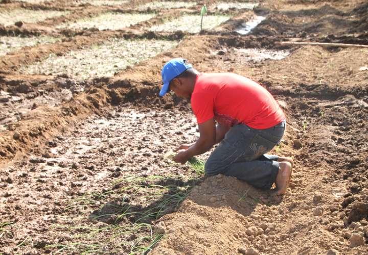 Productores de cebolla piden compra total de la producción