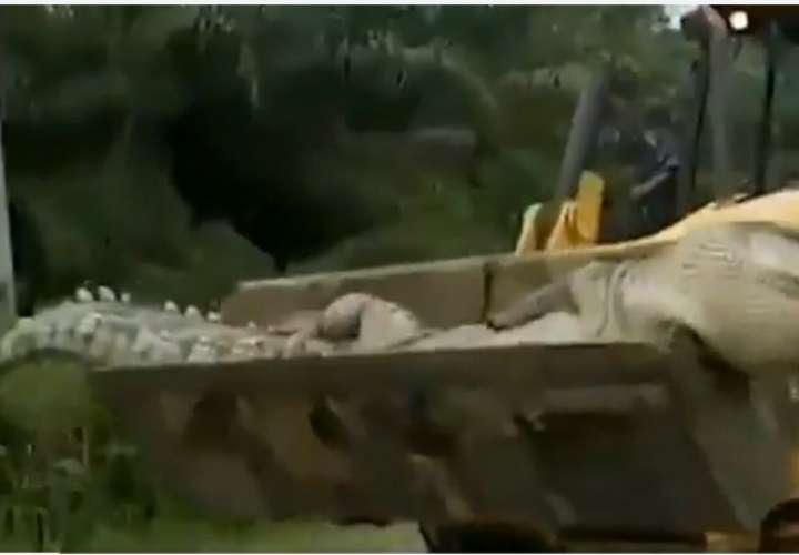 Capturan a enorme cocodrilo de 50 años y 500 kilos de peso (Video)