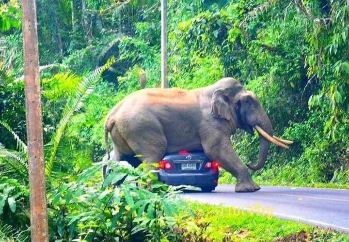 Elefante se sienta encima automóvil cargado de turistas en Tailandia (Video)