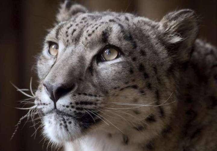 Leopardo se escapa y zoológico decide matarlo
