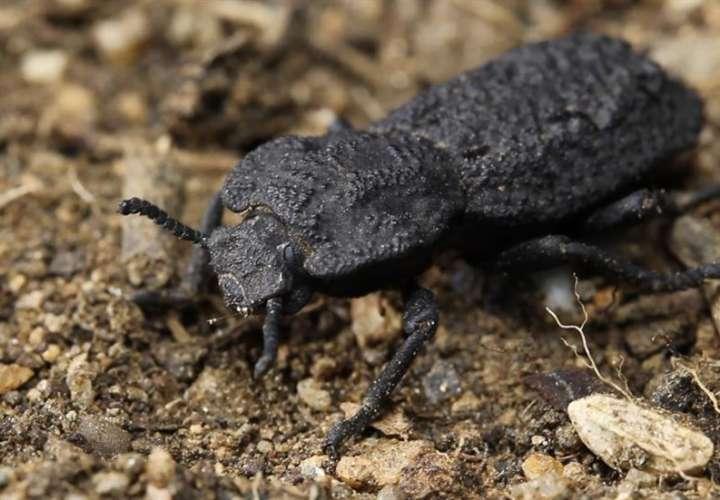 La supervivencia del escarabajo diabólico acorazado depende, en parte, de su capacidad para hacerse el muerto de forma convincente. EFE