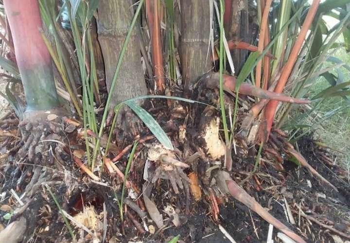 Denuncia: Delincuentes hurtan palmas rojas en Las Garzas