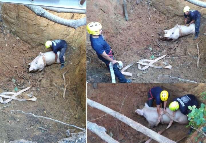 De no haber sido rescato, el animal, que pasaba más de 200 libras, pudo morir. / Foto: @BCBRP