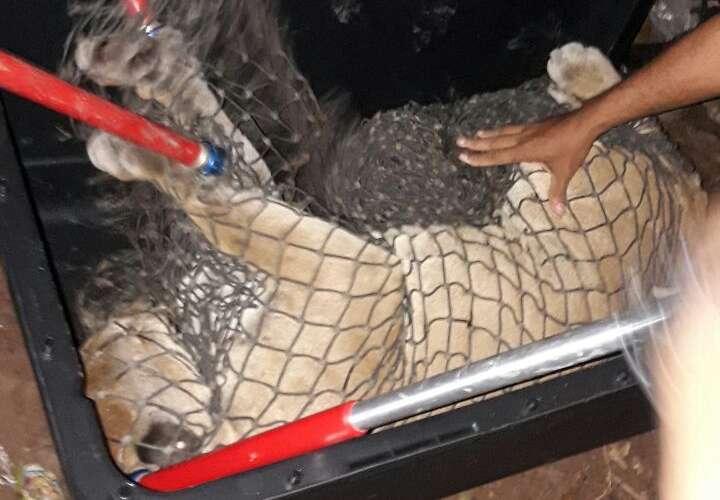 Así fue como capturaron a un puma que merodeaba en Nueva Libia