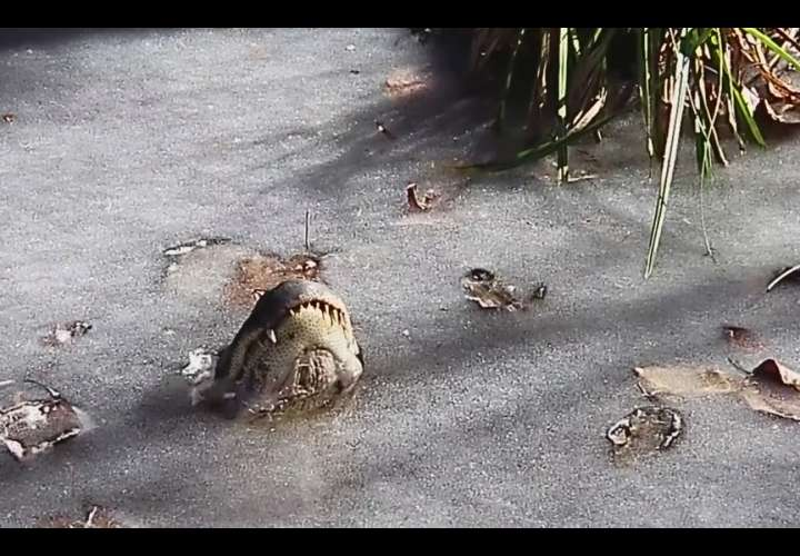 Las imágenes fueron divulgadas por el parque Shallotte River Swamp Park en su cuenta de Facebook.