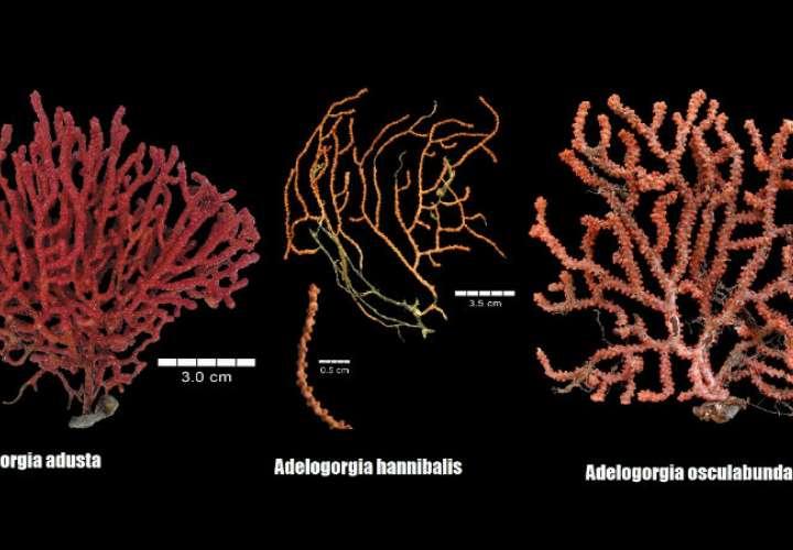 Smithsonian descubre tres nuevas especies de octocoral en Panamá y Costa Rica