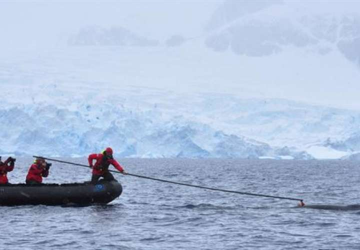 Investigadores de un proyecto estadounidense y australiano de estudio de los hábitos de las ballenas, que adhieren una cámara de video digital a una ballena minke (Balaenoptera bonaerensis) en la Antártida. EFE