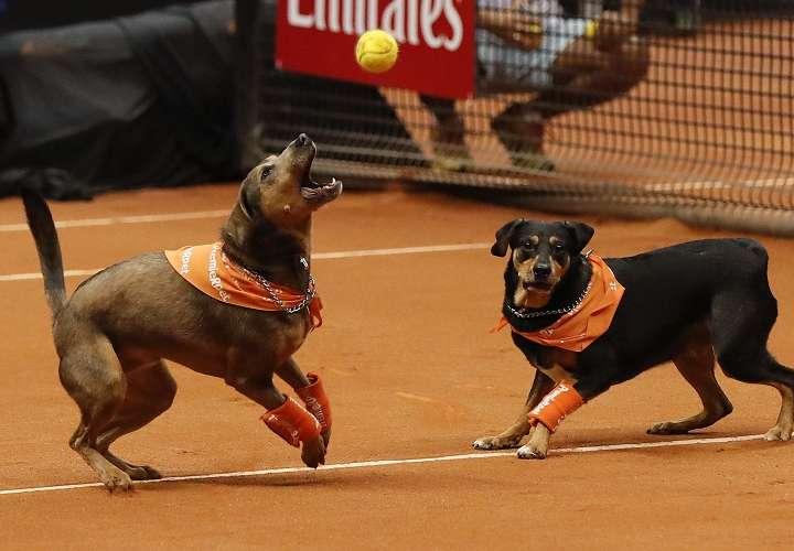Perros entrenados para recoger las bolas de tenis participan durante un evento de exhibición. Foto: EFE