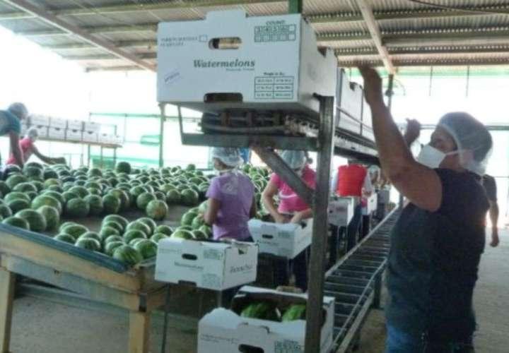 Tras recuperar producción y exportación de sandía