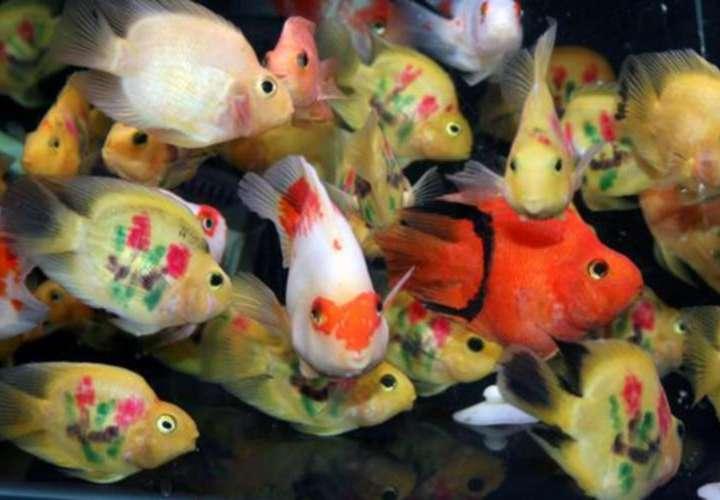 Promueven una campaña en R. Dominicana para preservar el pez loro