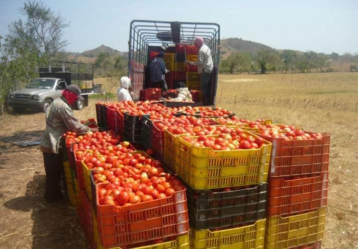 Baja producción de tomate industrial