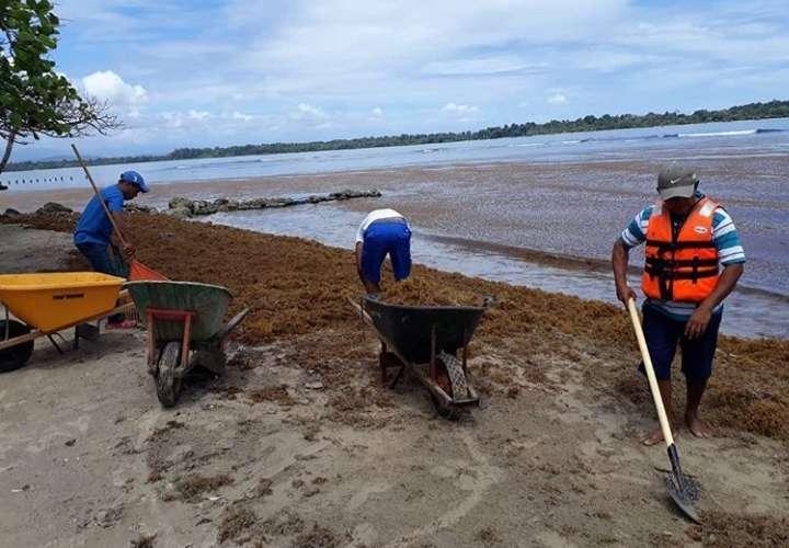 """Algas """"sargazo"""" invaden las playas de Bocas de Toro"""