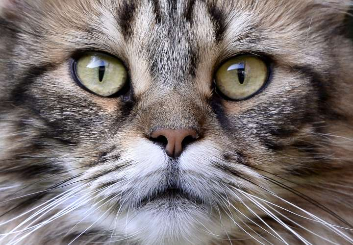 Senadora de Florida quiere prohibir el quitarles las uñas a los gatos