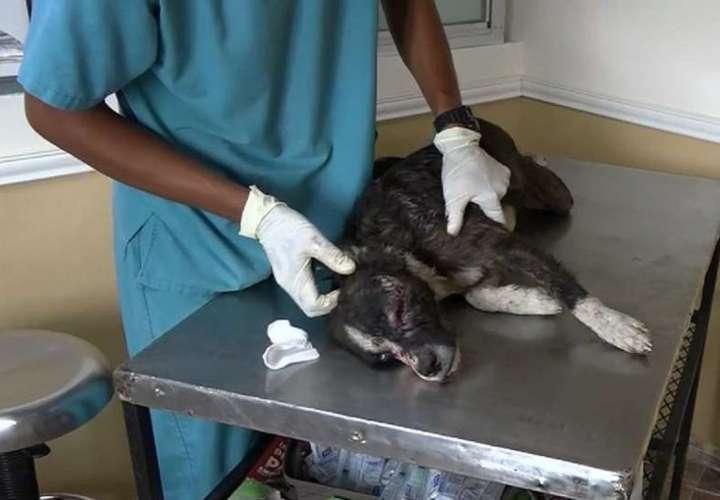 Hombre deja ciego de un ojo y le corta nariz a un perro de un machetazo en Colón