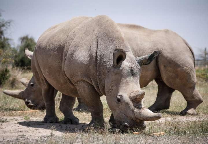 Logran fecundar 7 óvulos para salvar a los rinocerontes blancos del norte