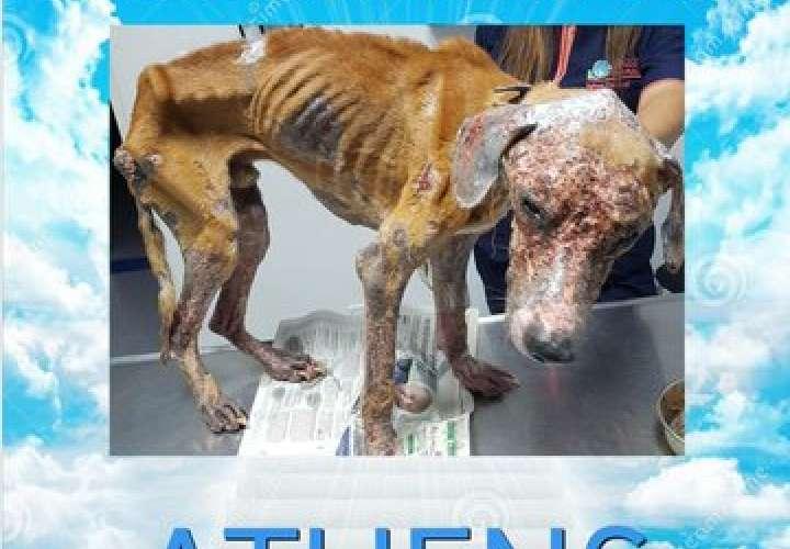 ¡Qué crueldad! Muere Athens, el perro maltratado y abandonado en San Miguelito