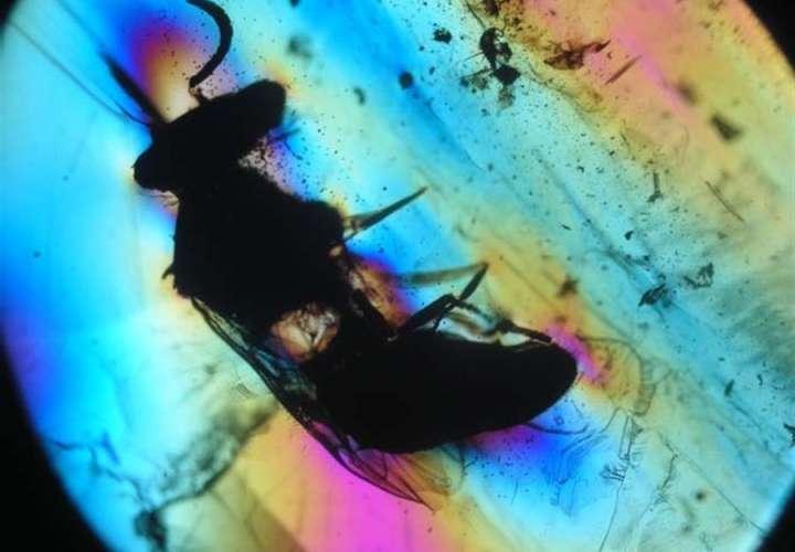 """""""Avispa de la especie Prosphex anthophilos en vista ventral con una nube alrededor de granos de polen de una angiosperma primitiva (longitud corporal poco más de 4mm). EFE"""