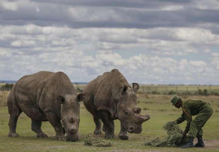 Científicos crean otro embrión viable de rinoceronte blanco del norte