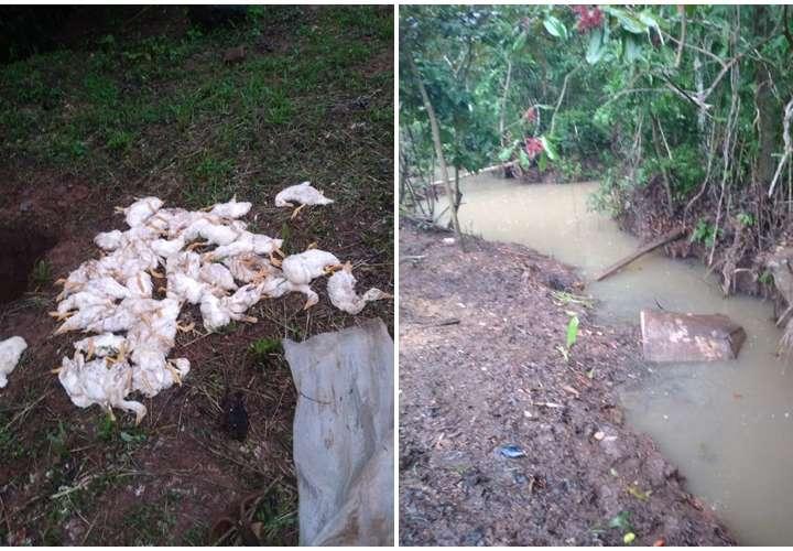 Matanza de patos en El Coco; temen envenenamiento