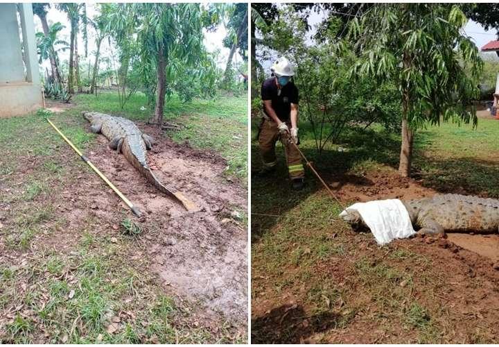 Capturan enorme lagarto de cuatro metros en Guararé