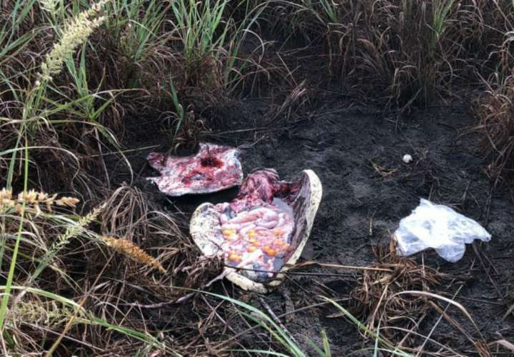 Buscan a descuartizadores de tortuga lora en La Barqueta