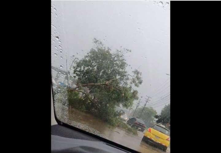 Caída de árboles por lluvia en la capital