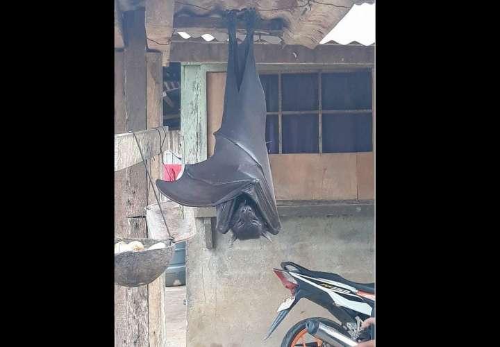 """Viral: Fotografían murciélago """"de tamaño humano"""" en Filipinas"""