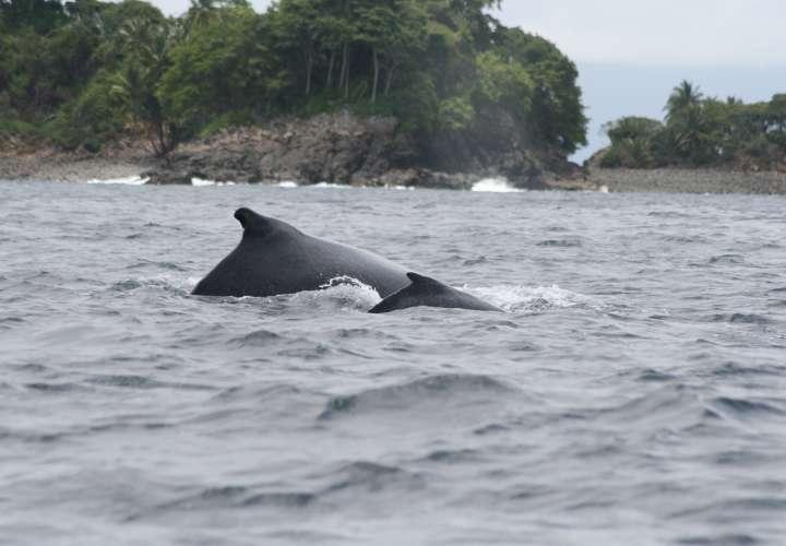 Panamá se prepara para el gran espectáculo de avistamiento de ballenas
