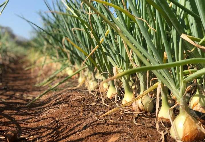 Cadena Agroalimentaria logra acuerdo para importar 50 mil quintales de cebolla