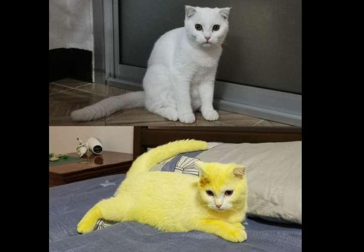 Gato se torna amarillo como Pikachu