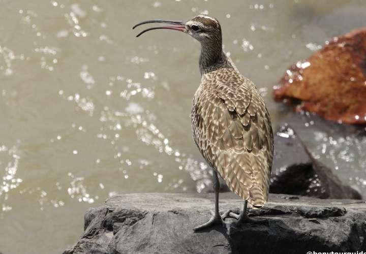 Viene el Panamá Bird Festival