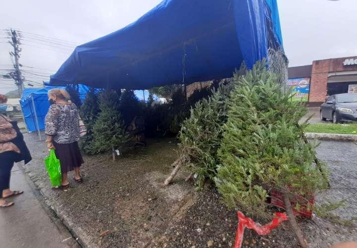 Venta de arbolitos navideños en Milla 8  [Video]