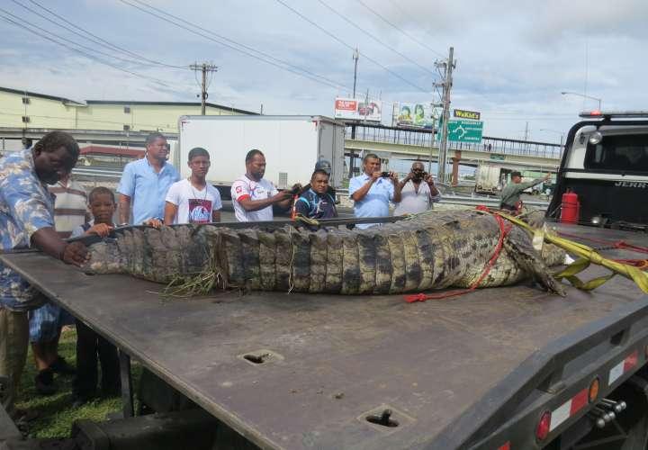 Viven atemorizados por presencia de lagartos en dos comunidades de Colón