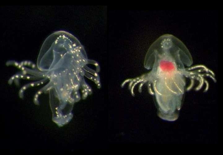 Encuentran en aguas de Panamá ocho nuevas especies de foronídeos